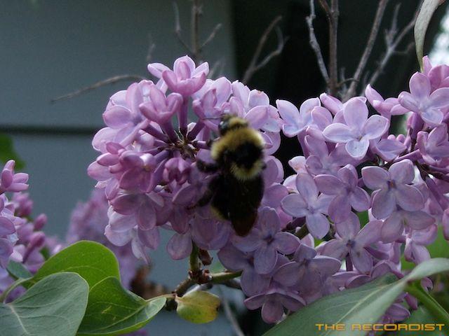 Bee Recording 2011-06