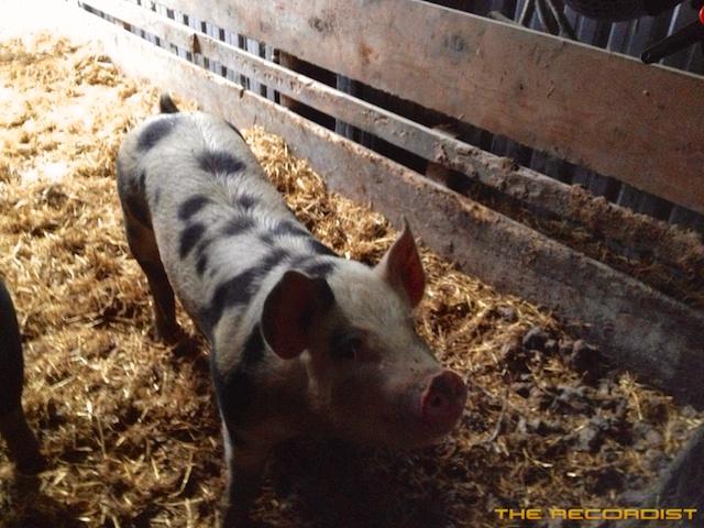 Pig Recording 2012