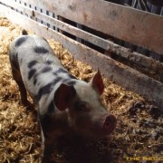 The-Recordist-Pigs-HD-Pro-SFX-7